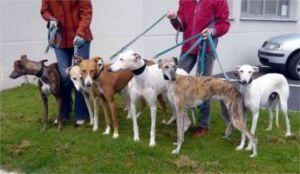 Rescued galgos in France with Levriers en Danger 0109 edit