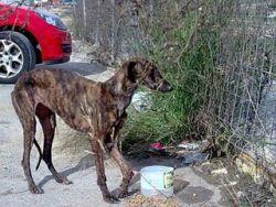 Starving galga withbroken leg 2 250