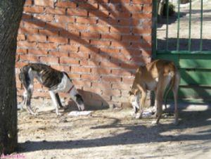 Galgos sin Fronteras 2 starving galgos 0209 300