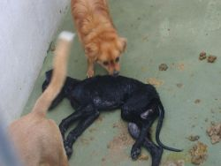 Seville dog pound 2 dying dog 250