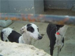 Galgos mairena 3 250