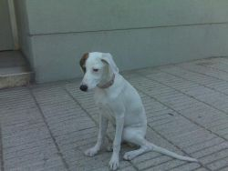 Galgo x on the streets of Madrid 250