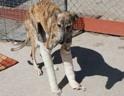 Injured galgo 250