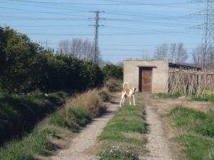 Podenco abandoned 0110 charl 300