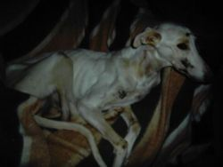 Starving dog 1 250