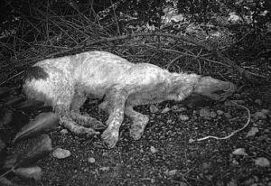 Hung dog Cataluna 02 2010 300