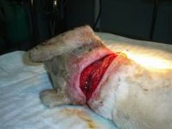 Starving galgo hung 2 Seville clean wound 05 2010 250