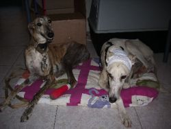 Starving galgo hung 6 Seville 05 2010 250