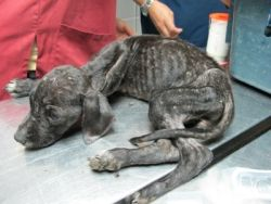 Starving puppy Cuencanimal 08 2010 250