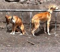Gran Canaria podencos 200 3 08 2011