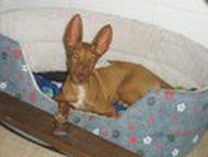 Podenco puppy FB 190 08 2011
