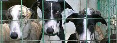Galgos in cage 230 Bulletin des Levriers