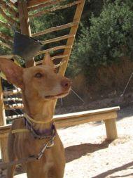 Caramello_ears_up 190 Tina 11 2011