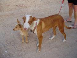 Tina podenca_mum_and_pup 06 2011 250
