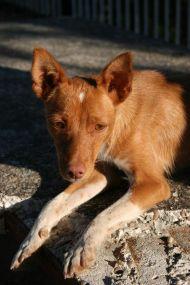 Podenco puppy Cordoba 190 1 17 09 2011