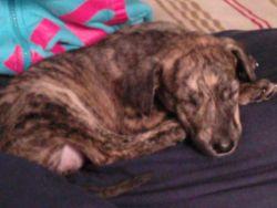 Galgo puppy 1 250 12 2011
