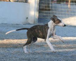 Antoinette galgo pup 3a 250