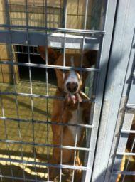 Cordoba perrera podenco puppy 190 6 2012