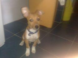 Macu podenco puppy 250 1 26 6 2012