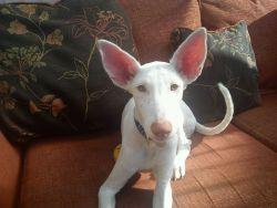Fanta ears 250