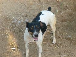 Jaen podenco terrier 250 8 2012