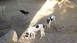 Jaen podenco family 250 8 2012