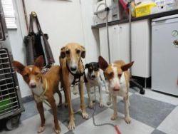 Pro Galgo 4 dogs Seville 250 11 2012