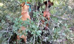 Hanged podencos 250 9 2012