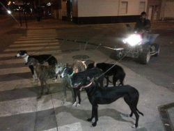 Training galgos Murcia 250 22 10 2012