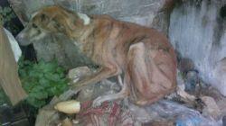 Talavera galgo 1 250 12 2012