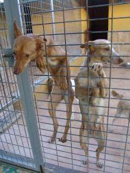 Malaga podencos 1 190 12 2012