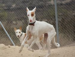 Stunning Podenco Ibicenco With Podenco Friends For Adoption Podenco Post