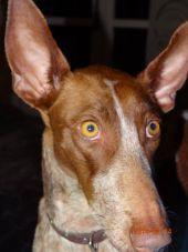 Fada ears Sighthounds2Save Mieke 170