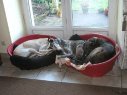 3 galgos sleeping window 250