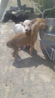 Pepis puppies 1 170 8 4 2015