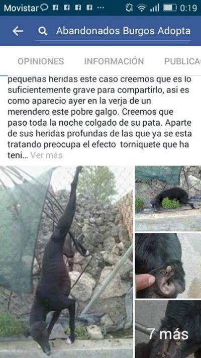 Burgos hung galgo 400 5 2017