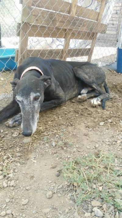 Black galgo male 2 400