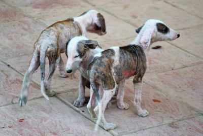 Galgos 112 puppies Jaen together 3 9 2017400