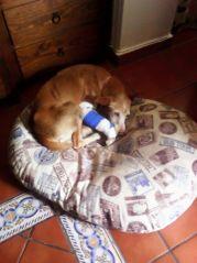 Podenco pitbull 1 170 28 4 2015