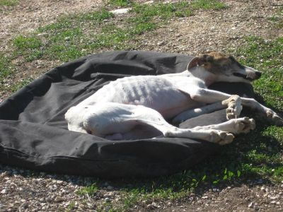 Starved galgo 1 400 25 11 2016
