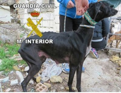 Guardia C@ivil starved galga 400 25 2 2017