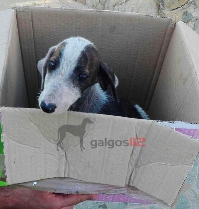 Galgos 112 puppies Jaen 1 400