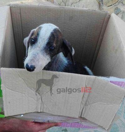 Galgos 112 puppies Jaen 1 400