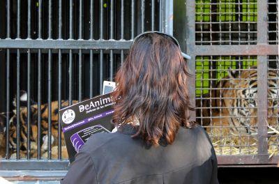 Circus tigers Raquel 400