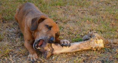 DogChewingBone 400 Pixabay
