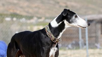 Podenco Friends galgos 3 400