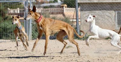 Podenco Friends galgos 4 400