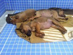 Galgos del Sur 4 pups 250