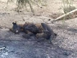 Malaga chained burned dogs  250 25 9 2015