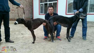 Greyhounds in China mating 400 5 2017